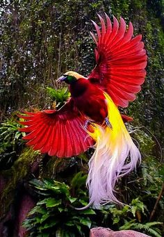 Greater bird of paradise.BIRDS OF PARADISE.a group of 42 species of birds found in eastern Indonesia, Papua New Guinea, and eastern Australia dense rainforest habitats.best known for the plumage of the males Pretty Birds, Love Birds, Beautiful Birds, Animals Beautiful, Birds Pics, Exotic Birds, Colorful Birds, Greater Bird Of Paradise, Kinds Of Birds