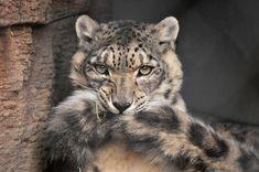Résultats de recherche d'images pour « snow leopard tail »