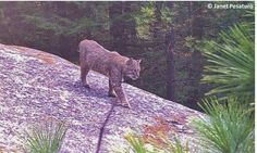 How to set up a camera trap. Learn how, when, and where to set up a trail camera, as well as some thoughts about baiting. This is a bobcat photographed by my wildlife camera in central MA. From http://ouroneacrefarm.com/how-to-set-up-a-camera-trap/