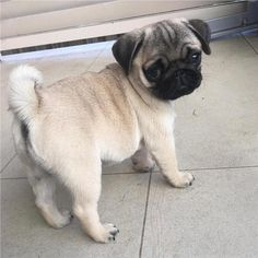 Pug Kawaii, Baby Pugs, Small Dog Clothes, Cute Dogs And Puppies, Doggies, Retriever Puppy, Pug Love, Cute Baby Animals, Mans Best Friend