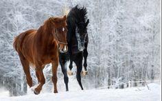 Winter stroll black horse chestnut horse forest horses snow