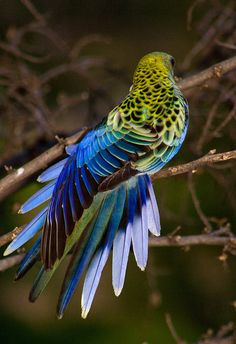 pale-headed rosella  (photo by schmelly50)    ugh that bird is gorgeous
