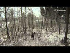 Moose-vs-Quadcopter in Norway  http://eirikso.com/2013/01/09/moose-vs-quadcopter/