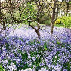 """Populární anglické """"Bluebells"""" jsou rostliny zvané hyacintovce (Hyacinthoides), u nás ne moc známé, byť minimálně některé druhy tady bez problémů porostou. Jestli se zvládnou dobře šířit i samy, bohužel nevím."""
