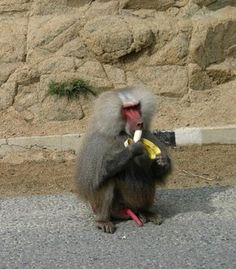 Hamadryas Baboon at Eritrea