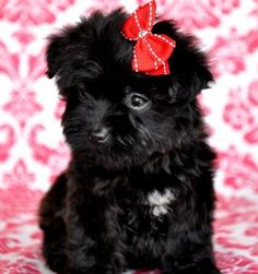 Teacup #yorkiepoo #dogs #cute....I want one of these too plz