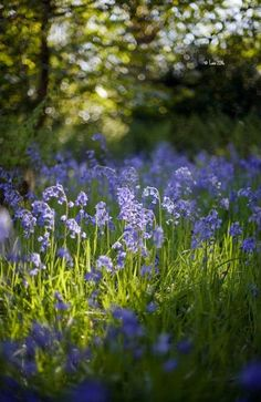 I love Bluebells. Beautiful World, Beautiful Gardens, Beautiful Flowers, Beautiful Places, Blue Flowers, Wild Flowers, Nature Pictures, Belle Photo, Daffodils