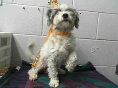 SAFE --- #A474596 Release date 10/24 I am a female, white and gray Terrier mix. Shelter staff think I am about 5 years old. I have been at the shelter since Oct 17, 2014.  City of San Bernardino Animal Control-Shelter. https://www.facebook.com/photo.php?fbid=10203779678910015&set=a.10203202186593068&type=3&theater