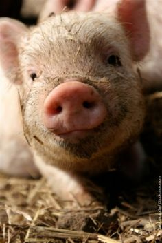 I will not say how adorable you are, then eat you for breakfast. Yes, bacon is delicious, but that doesn't make animal abuse ethically acceptable. - SM
