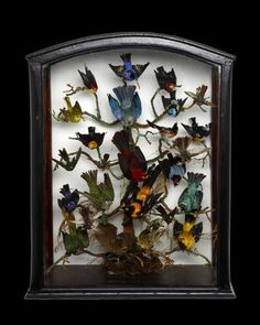 South American Birds Display in Framed Shadow Box. Including: American Redstart, Scarlet Tanager, Yellow Warbler, Various other Warblers and Tropical Birds. Circa Mid to Late-19th Century.