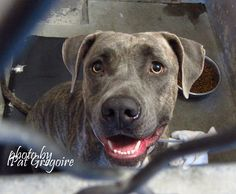 A4877575 My name is Xotchi. I am a very friendly female br brindle pit bull mix. I came to the shelter as a stray on Sept 14. available now. (61.5 lbs) NOTE: Pit bulls are not kept as long as others so those dogs are always urgent!!  Baldwin Park shelter  https://www.facebook.com/photo.php?fbid=1036480796363757&set=a.705235432821630&type=3&theater