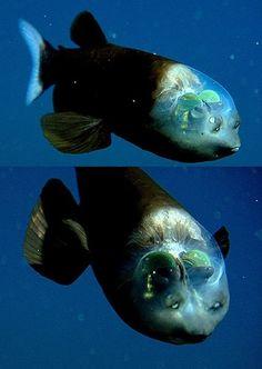 O peixe-olhos-de-barril | cabeça transparente