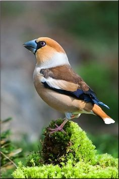 "The Hawfinch. (Coccothraustes coccothraustes) __ is a passerine bird in the finch family -""FRINGILLIDAE"". It breeds accross EAUROPE and temperate ASIA. Pretty Birds, Love Birds, Beautiful Birds, Animals Beautiful, Small Birds, Little Birds, Colorful Birds, Hawfinch, Kinds Of Birds"