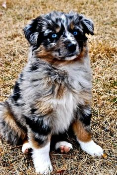 30 Outstanding Names For Australian Shepherd Dogs Do you have a fast paced life or love the great outdoors? Do you need a high energy dog that thrives on staying active? The Australian Shepherd may be the perfect dog for you! Australian Shepherd Puppies, Aussie Puppies, Cute Dogs And Puppies, I Love Dogs, Doggies, Aussie Shepherd, Australian Shepherd Blue Eyes, Mini Australian Shepherds, Miniture Australian Shepard