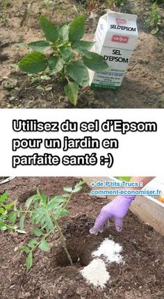 Healthy Garden Tip using epsom salt-- Easy DIY gardening tips and ideas for beginners and beyond! Tips and tricks for your flower or vegetable garden, or for your front or backyard landscaping design. A few garden projects and ideas you can do for cheap! Diy Gardening, Organic Gardening Tips, Gardening For Beginners, Vegetable Gardening, Organic Farming, Flower Gardening, Kitchen Gardening, Veggie Gardens, Organic Soil