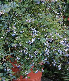"Blueberry, ""Sunshine Blue""  Edible landscaping contender.  Although one reviewer called the fruit ""gritty.""  3-4 feet tall."