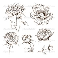 vector peony - Google Search