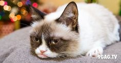 """Grumpy Cat Stars In """"Hard To Be A Cat At Christmas"""" Music Video  9gag.tv/v/2035"""
