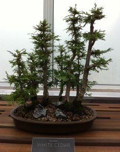 White Cedar Forest 2013