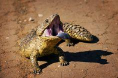 Shingleback Lizard (Tiliqua rugosa), Mutawintji National Park, New South Wales. - Photo Credit: Bill Hatcher