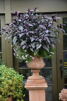 Persian shield and lavender million bells