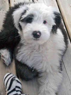 old english sheepdog pictures free | complete gallery of pictures just click on pictures for easy viewing