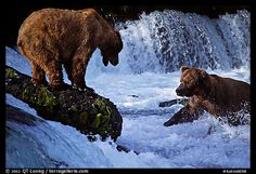 Brown bears fishing at the Brooks falls. Katmai National Park (color) by QT Luong