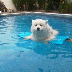 New Olympic Sport...Samoyed Surf'n