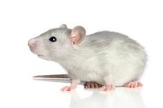 classroom pet rat   I don't want to be shellfish ;)