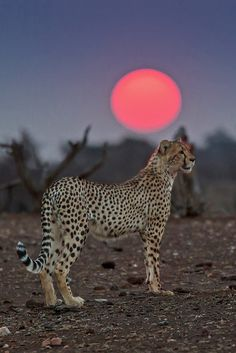 Cheetah at Sunset, Mashatu Game Reserve, Botswana