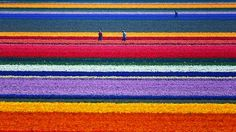 stunning shots of flower farms -- Wow! Where are these!? I must visit!