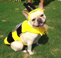 """Look, I'm a Cute Honeybee!"", adorable French Bulldog in Costume ; }"