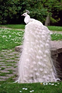 An albino peacock. This animal also exist in Japan. I thought it is not an albino peacock. Hmm quite interesting. Pretty Birds, Beautiful Birds, Animals Beautiful, Beautiful Pictures, Gorgeous Gorgeous, Simply Beautiful, Absolutely Stunning, Exotic Birds, Colorful Birds