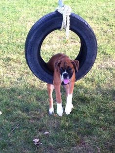 Funny Boxer draped over a Tire Swing-GoofBall Boxer Poses