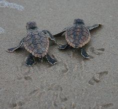 Wildlife Wednesday: Baby Sea Turtles Hatch from Anna & Elsa's Nests at Disney's Vero Beach Resort!