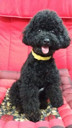 Black Toy Poodle on pink quilt