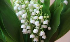 lily of the valley flowers Types Of White Flowers, White Lotus Flower, Pink And White Flowers, White Lilies, Little Flowers, Calla Lily Flowers, Bulb Flowers, Sugar Flowers, Lily Of The Valley Flowers