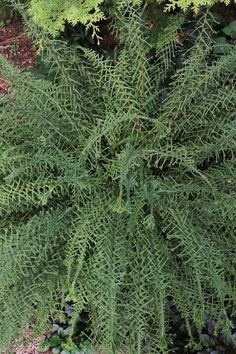 """Victoria Lady Fern, Athyrium filix-femina 'Victoriae'.  Hardy to zone 3.  Height & Spread 18"""".  Part sun to light shade.  Deer resistant.  The narrow pinnae of Athyrium 'Victoriae' are like little green boomerangs. As they are attached to each side of the stem, the effect is a three-dimensional stunner in the woodland garden. At the end of each pinna, the fronds are crested, adding to the exquisite beauty."""