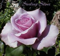 sterling silver rose 300x279 All The Pretty Flowers: Small Talk Six