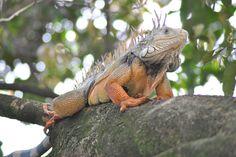 Maria Iguana