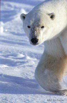 Polar Bear - An Endangered Species