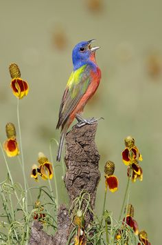 Male Painted Bunting and Mexican Hat flowers