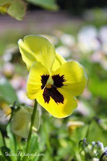 Pansies flowers