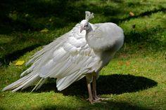 Przepiękny ptak ozdobny - paw albinos