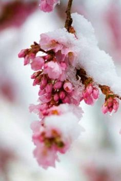 Pink fleurettes covered by snow.