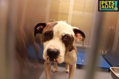 No one is Sharing Noone is Pledging for My Life - Please Foster Me to Save Me - #A276888 Pit Bull mix Male, 3 years, 44 lbs Intake Date: 4-20-15, Review Date: 4-24-15 ASK to see me in STRAY or you might miss me. I'm at Memphis Animal Services 901-636-1416