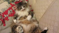 Kiska is an 18 lb cat, very fluffy, and extremely friendly!  Watch her as she lays back and enjoys a nice snack. That's living the life!
