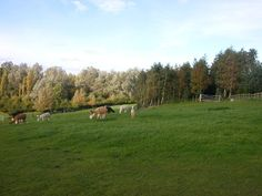 Dunchurch-Toft. Alpacas grazing on Toft Hill. East of Draycote Water near Rugby