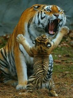 "tiger cub: ""Let's play mom!tiger mom: ""it's way past your nap time!"" xD :D :p ; Animals And Pets, Baby Animals, Funny Animals, Cute Animals, Animals Images, Wild Animals, Beautiful Cats, Animals Beautiful, Beautiful Soul"