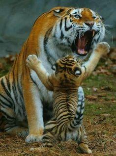"Cute cub saying, ""it's not all my fault""! Mum ,he he"
